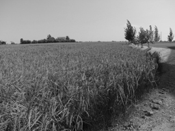 arroz-lo-nostre-arròs